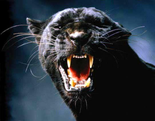 сонник яркий кот рычит вами
